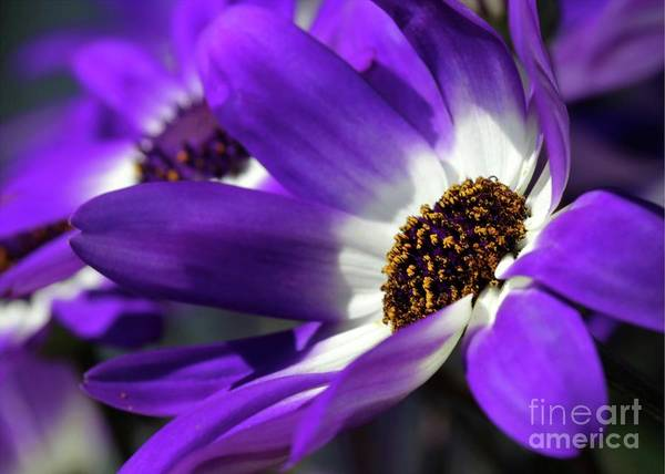 Flower Poster featuring the photograph Purple Daisy by Sabrina L Ryan