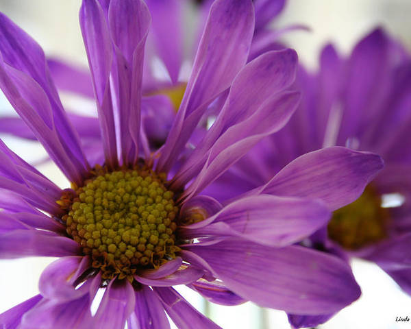 Flowers Purple Macro Daisy Spring Yellow Digital Photography Poster featuring the photograph Purple Delight by Linda Sannuti