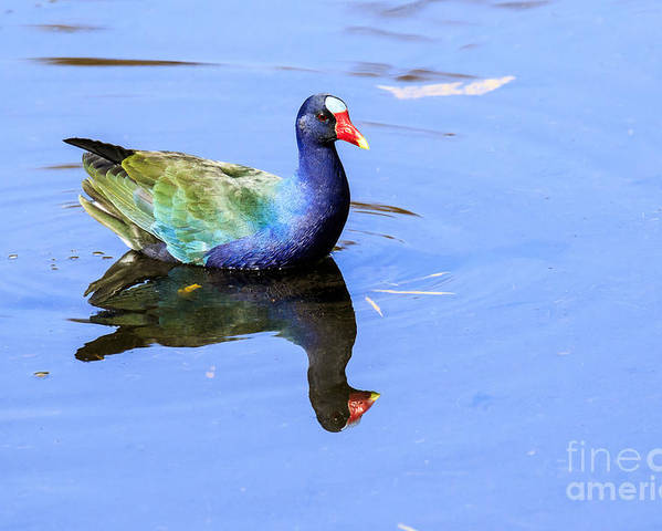 Purple Gallinule Poster featuring the photograph Purple Gallinule by Ben Graham