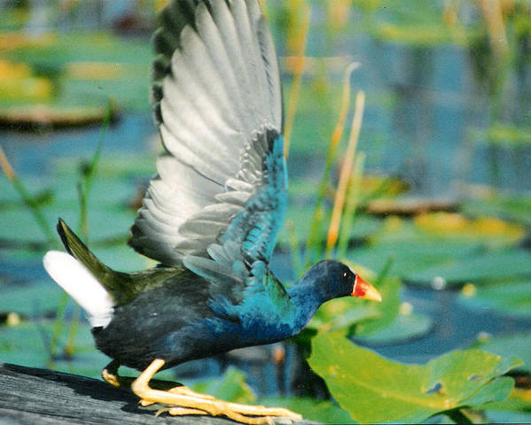 Birds Poster featuring the photograph Purple Gallinule by Cindy Gregg