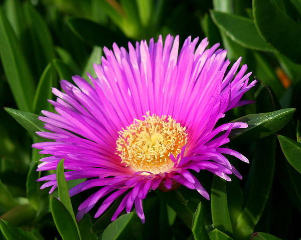 Flower Poster featuring the photograph Purple Ice Plant by Kerry Reed