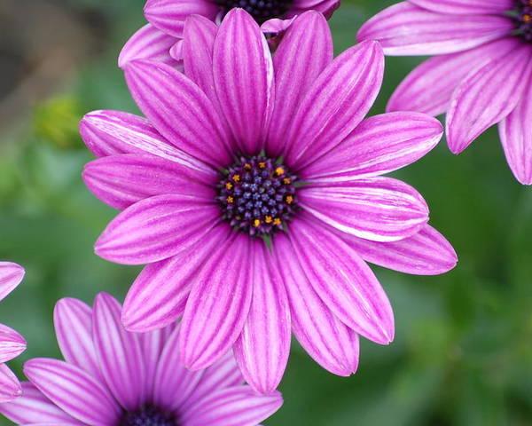 Purple Flower Poster featuring the photograph Purple by Jennifer Englehardt