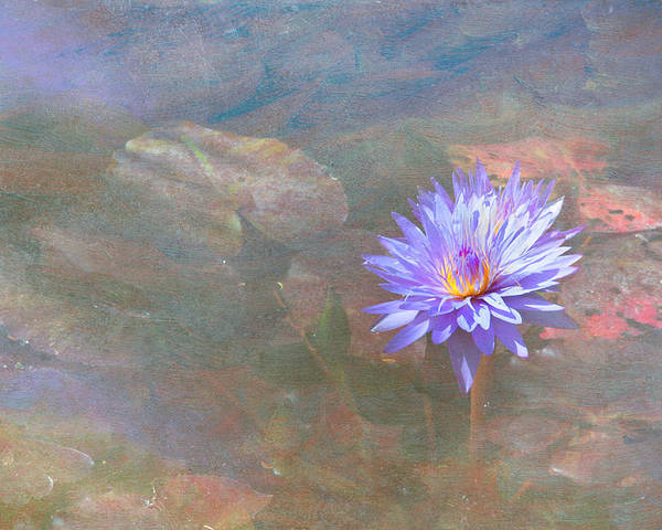 Waterlily Water Flower Poster featuring the photograph Purple Lily by Carolyn Dalessandro