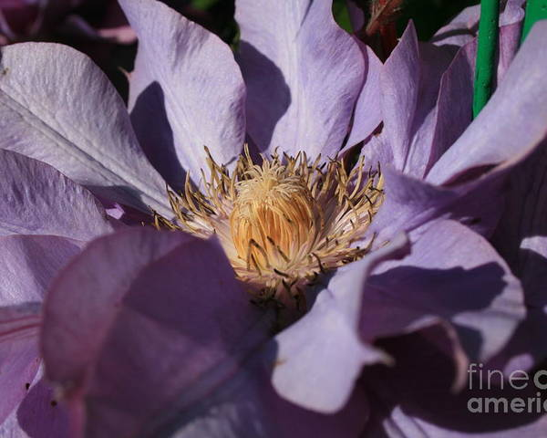 Flower Poster featuring the photograph Purple by Marta Grabska-Press