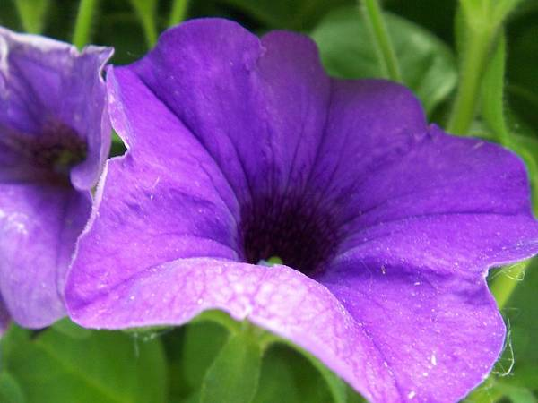 Floral Poster featuring the photograph Purple Petunia by Ellen B Pate