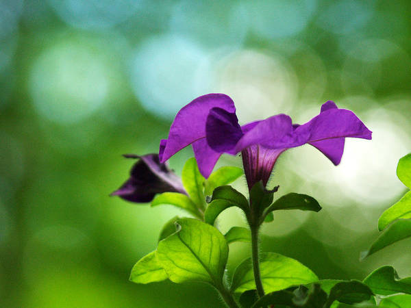 Flowers Poster featuring the photograph Purple Petunia On A Cool Spring Day by Dorothy Lee