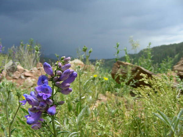 Mountain Flower Poster featuring the photograph Purple Thunder by Peter McIntosh