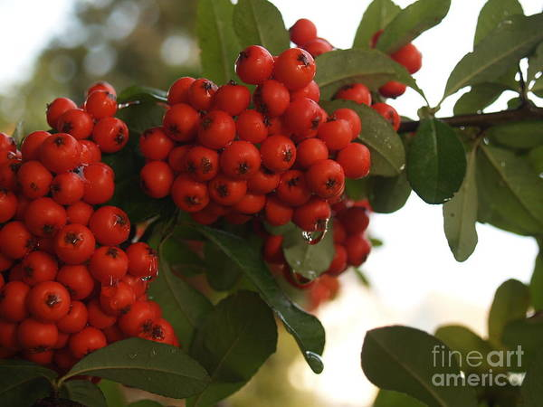 Pyracantha Poster featuring the photograph Pyracantha Berries In December by Anna Lisa Yoder