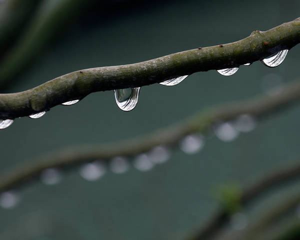 Horizontal Poster featuring the photograph Rain Branch by Photography by Gordana Adamovic Mladenovic