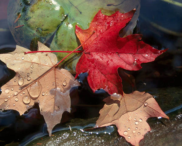 Fall Poster featuring the photograph Rain Drops On Leaves by Raju Alagawadi