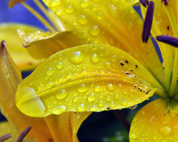 Lily Poster featuring the photograph Rain Spotted Yellow Lily I 2009 by Frank LaFerriere