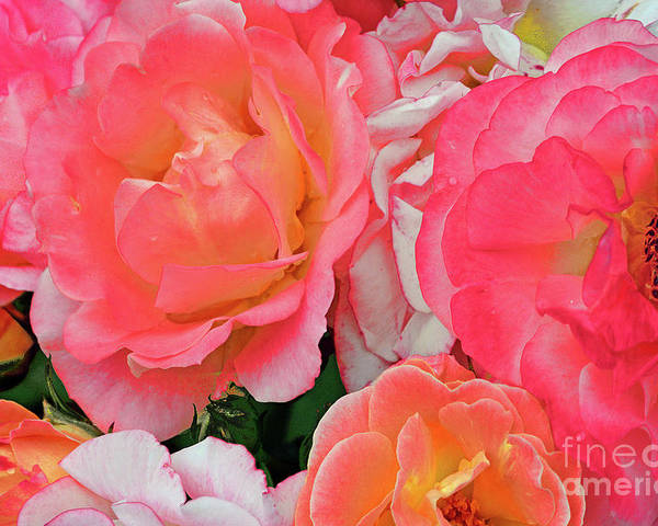 Rose Poster featuring the photograph Rainbow Of Roses by Regina Geoghan