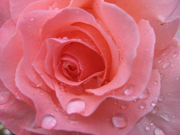 Floral Poster featuring the photograph Raindrops On Roses And..... by Kathy Roncarati
