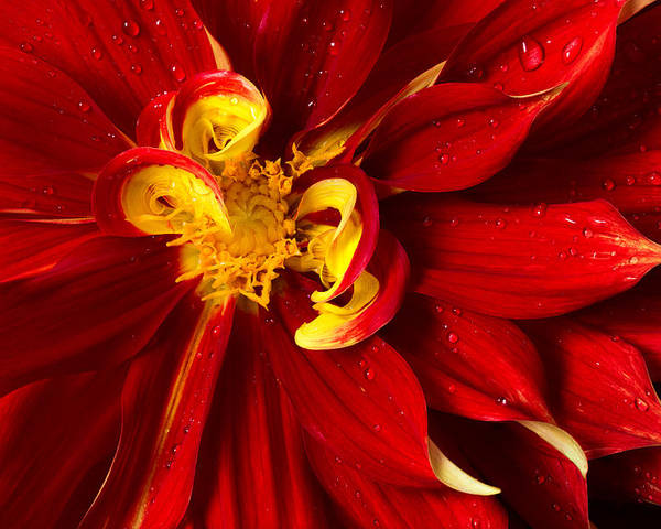 Floral Poster featuring the photograph Rainy Day Dahlia by Mary Jo Allen