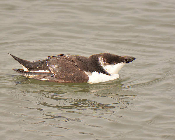 Alcid Poster featuring the photograph Razorbill by Alan Lenk