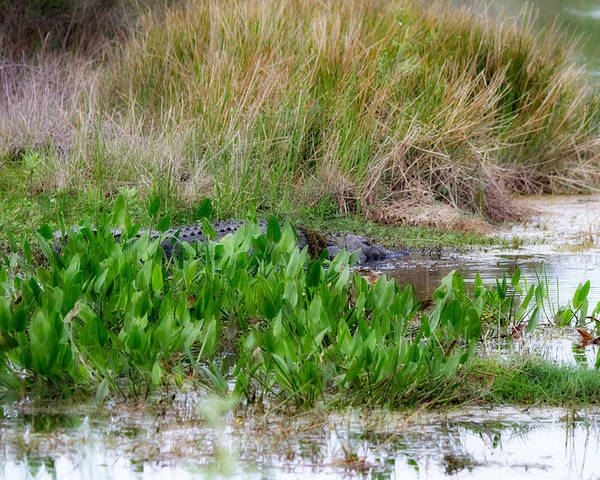 Marsh Poster featuring the photograph Really Dangerous Alligator by J Darrell Hutto