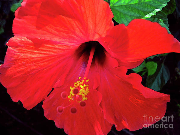 Hawaiian Flower Poster featuring the photograph Reb Hibiscus Flower by Bette Phelan