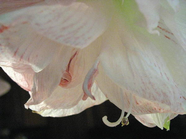 Flower Poster featuring the photograph Rebirth by Belinda Consten