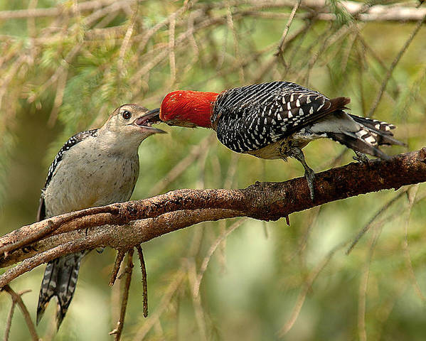 Red Bellied Woodpecker Poster featuring the photograph Red Bellied Woodpecker Feeding Young by Alan Lenk