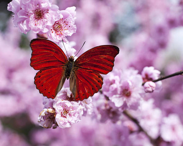 Red Poster featuring the photograph Red Butterfly On Plum Blossom Branch by Garry Gay