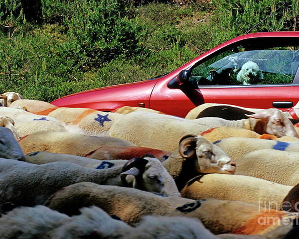 Agriculture & Food Poster featuring the photograph Red Car Blocked By A Flock Of Sheep by Sami Sarkis