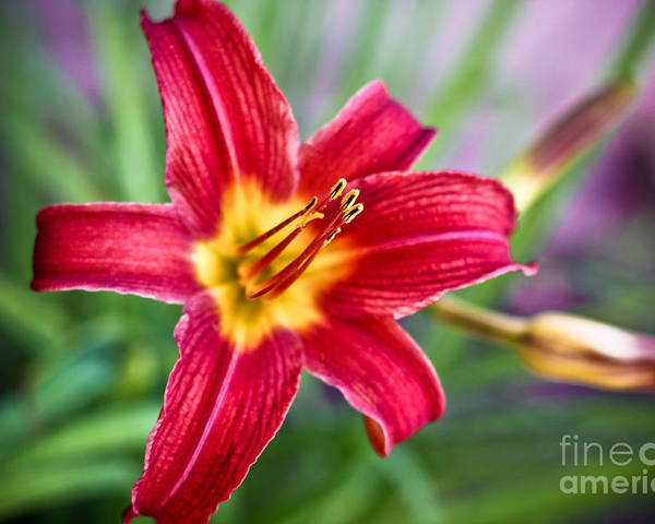 red Daylilies Poster featuring the photograph Red Daylily by Ryan Kelly
