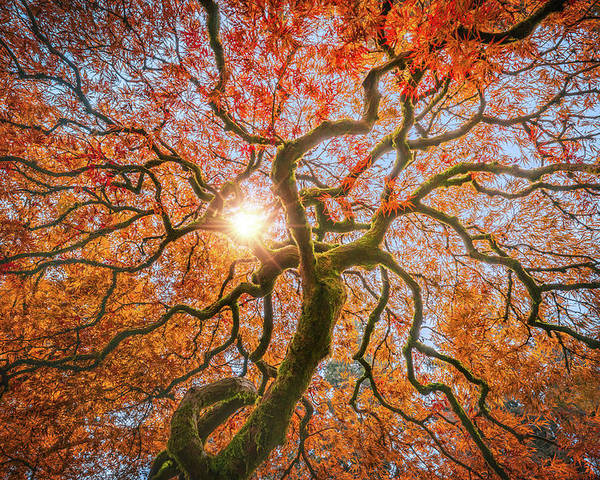 Sunlight Poster featuring the photograph Red Dragon Japanese Maple In Autumn Colors by William Freebilly photography