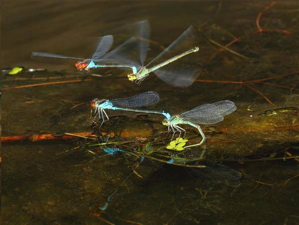 Nature Poster featuring the photograph Red Eyed Damselflies Flying And Mating Party by Andre Bijkerk