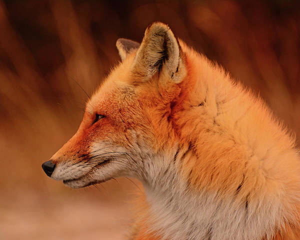 Red Fox Poster featuring the photograph Red Fox 2 by Raymond Salani III