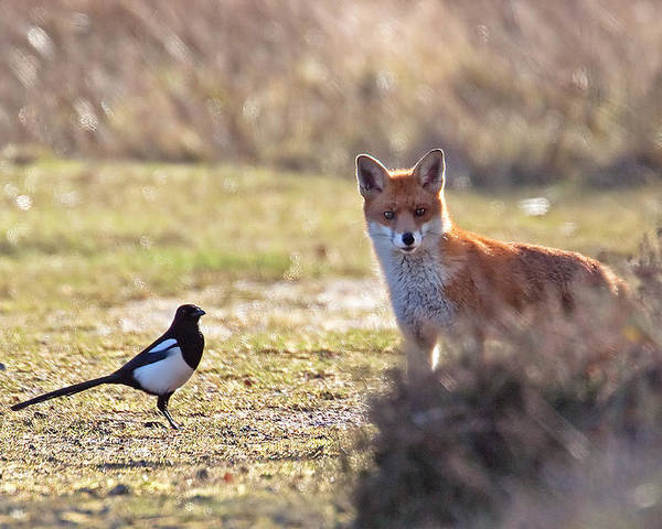 Magpie Poster featuring the photograph Red Fox And Magpie by Bob Kemp