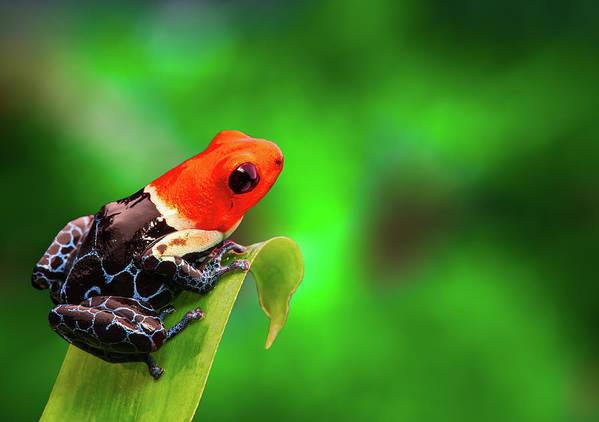 [Image: red-headed-poison-dart-frog-dirk-ercken.jpg]