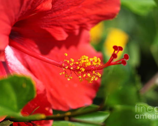 Flowers Poster featuring the photograph Red Hibiscus And Green by Nadine Rippelmeyer