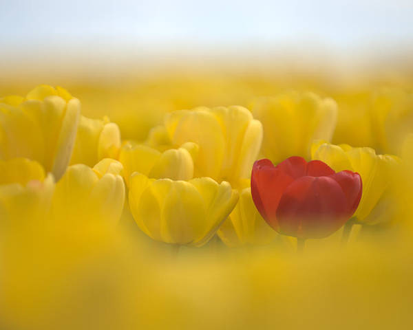 Flower Poster featuring the photograph Red In Yellow L085 by Yoshiki Nakamura