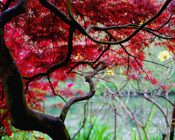 Poster featuring the photograph Red Japanese Maple by Nancy Bradley