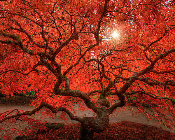 Fall Poster featuring the photograph Red Lace by Dan Mihai