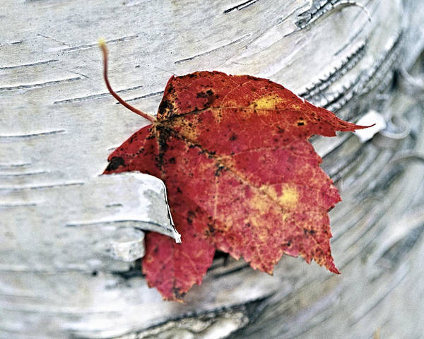 Abstract Poster featuring the photograph Red Leaf by George Oze
