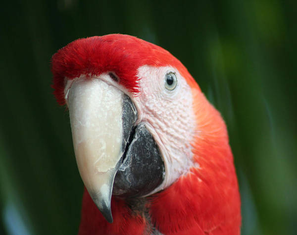 Scarlet Poster featuring the photograph Red Macaw by Anita Parker