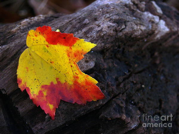 Leaf Poster featuring the photograph Red Maple Leaf On Old Log by Anna Lisa Yoder
