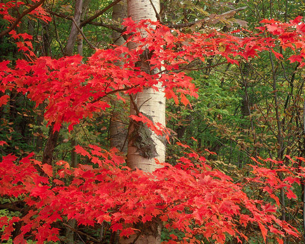 Fall Poster featuring the photograph Red Maple by Raju Alagawadi