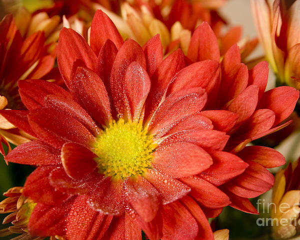 Flower Poster featuring the photograph Red Orange Shasta by Kenneth Johnson
