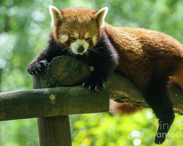 Cadiz Poster featuring the photograph Red Panda Ailurus Fulgens Jerez De La Frontera Spain by Pablo Avanzini