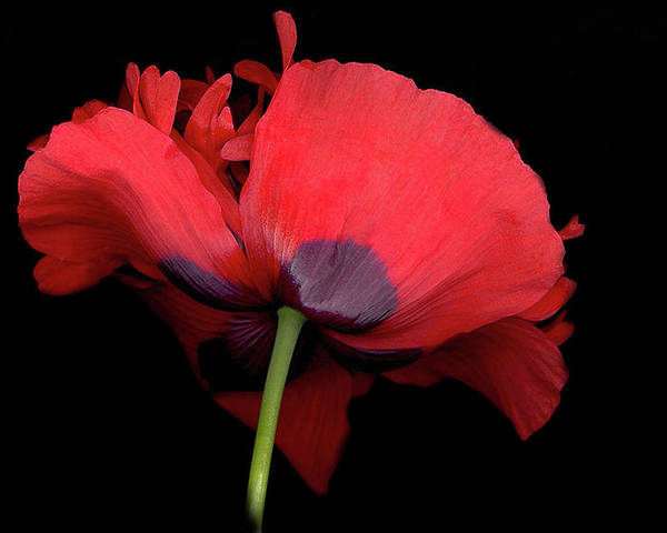 Red Poppy Poster featuring the digital art Red Poppy by Sandi F Hutchins