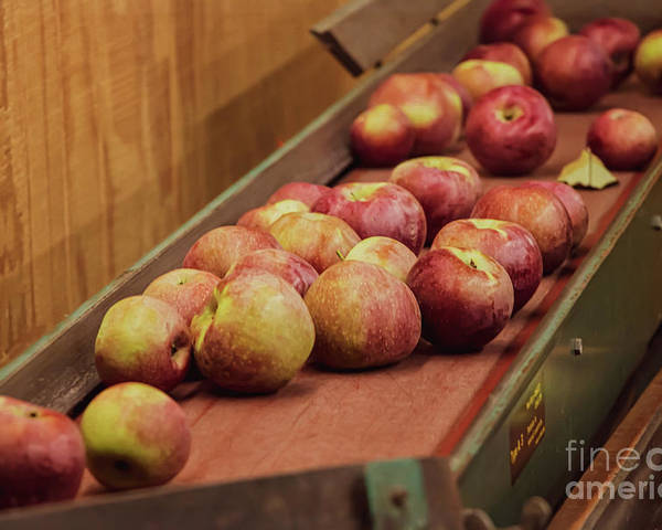 Ripe Red Apples Poster featuring the photograph Red Ripe Macintosh Apples by Elizabeth Dow
