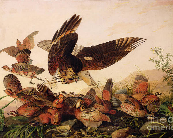 Red-shouldered Hawk Attacking Bobwhite Partridges Poster featuring the painting Red Shouldered Hawk Attacking Bobwhite Partridge by John James Audubon