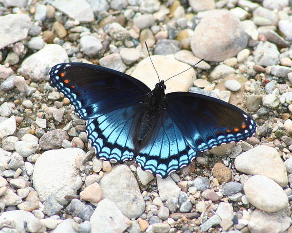 Red Poster featuring the photograph Red Spotted Purple by Jeff VanDyke