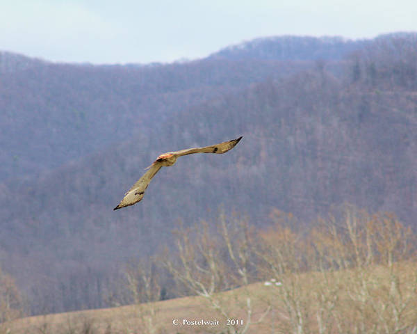 Red Tailed Hawk Poster featuring the photograph Red Tailed Hawk In Flight by Carolyn Postelwait