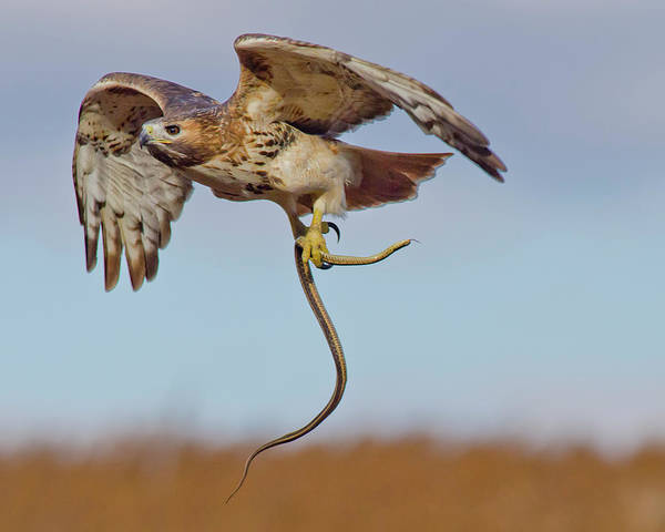 Red-tailed Hawk In Flight With Snake Poster featuring the photograph Red-tailed Hawk In Flight With Snake by Morris Finkelstein