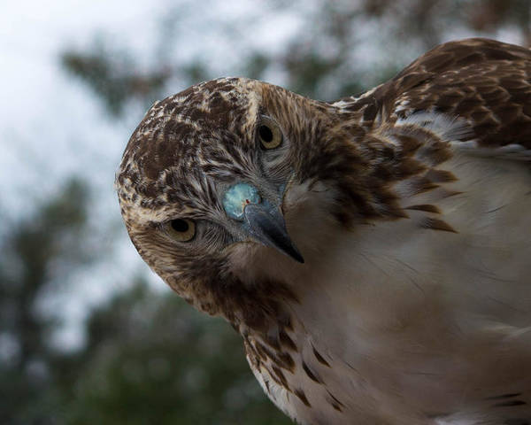Hawk. Red Tailed Hawk Poster featuring the photograph Red Tailed Hawk by Nancy Comley