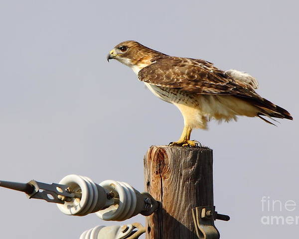 Animal Poster featuring the photograph Red Tailed Hawk Perched by Robert Frederick