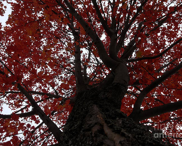 Fall Poster featuring the photograph Red Tree by David Lee Thompson
